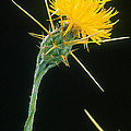 Yellow Starthistle by Science Source