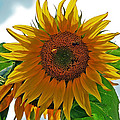 Yellow Sunflower by Susan Leggett