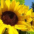 Yellow Sunflowers Art Prints Summer Sunflower by Baslee Troutman