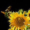 Yellow Sunflowers by Ms Judi
