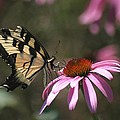 Yellow Swallowtail And Purple Coneflower by Living Color Photography Lorraine Lynch