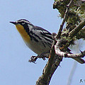 Yellow-throated Warbler by Roena King