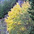 Yellow Trees by Linda Hutchins