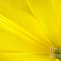 Yellow Tulip by Sharon Talson