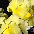 Yellow Violas by Erica Hanel