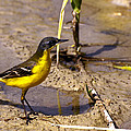 Yellow Wagtail by Focus  Fotos