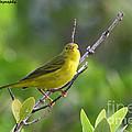 Yellow Warbler by Barbara Bowen