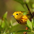 Yellow Warbler by Bruce J Robinson