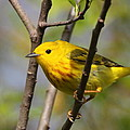 Yellow Warbler II by Bruce J Robinson