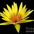Yellow Water Lily by Nick Zelinsky