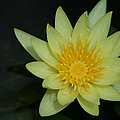 Yellow Waterlily - Nymphaea Mexicana - Hawaii by Sharon Mau