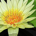 Yellow Waterlily by Dave Mills