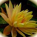 Yellow Waterlily Macro by Debra     Vatalaro