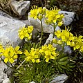 Yellow Whitlow-grass (draba Aizoides) by Bob Gibbons