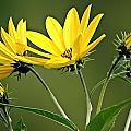 Yellow Wildflower 2 by Joe Faherty