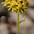 Yellow Wildflower At Crater Lake by Mick Anderson