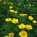 Yellow Wildflowers Blooming In Lush by Klaus Nigge