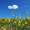 Yellow Wildflowers Under A Blue Sky by Sarah Broadmeadow-Thomas