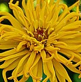 Yellow Zinnia_9480_4272 by Michael Peychich