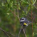 Yellowrumped Warbler by Doug Lloyd