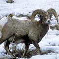 Yellowstone Big Horn Sheep by Sandra Bronstein