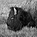 Yellowstone Bison by Dan Wells