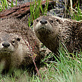 Yellowstone River Otters by Steve Stuller