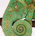 Yemen Chameleon, Close-up Of Coiled Tail by Martin Harvey