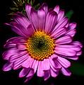 Yoho - Subalpine Fleabane Wildflower  by Terry Elniski