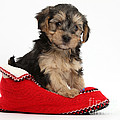 Yorkipoo Pup by Mark Taylor