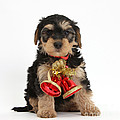 Yorkipoo Pup Wearing Christmas Bells by Mark Taylor