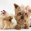 Yorkshire Terrier And Guinea Pig by Mark Taylor
