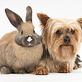 Yorkshire Terrier And Young Rabbit by Mark Taylor