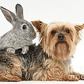 Yorkshire Terrier And Young Silver by Mark Taylor