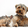 Yorkshire Terrier Dog And Baby Rabbits by Mark Taylor