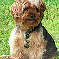 Yorkshire Terrier In Park by Susan Savad