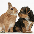 Yorkshire Terrier Pup With Rabbit by Mark Taylor