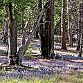 Yosemite Lupin by Nicole Fleckenstein