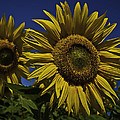 You Are My Sunshine by Nigel Jones