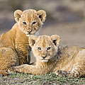 Young African Lion Cubs  by Suzi Eszterhas