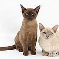Young Burmese Cats by Mark Taylor