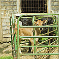 Young Calf In Fence Pen Near Barn Summer Maine by Keith Webber Jr