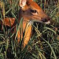 Young Deer Laying In Grass by Natural Selection Bill Byrne