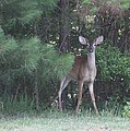 Young Deer Peering Out Of The Woods by Jeanne Kay Juhos