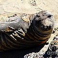 Young Elephant Seal Molting . 7d16091 by Wingsdomain Art and Photography