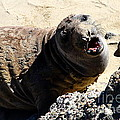 Young Elephant Seal Molting . 7d16100 by Wingsdomain Art and Photography
