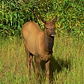 Young Elk by Kathleen Struckle
