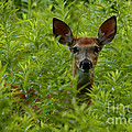 Young Fawn Playing Peek A Boo  by Inspired Nature Photography Fine Art Photography