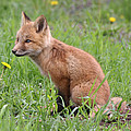 Young Fox Among The Dandelions by Doris Potter