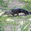 Young Gator On The Move by Terri Mills